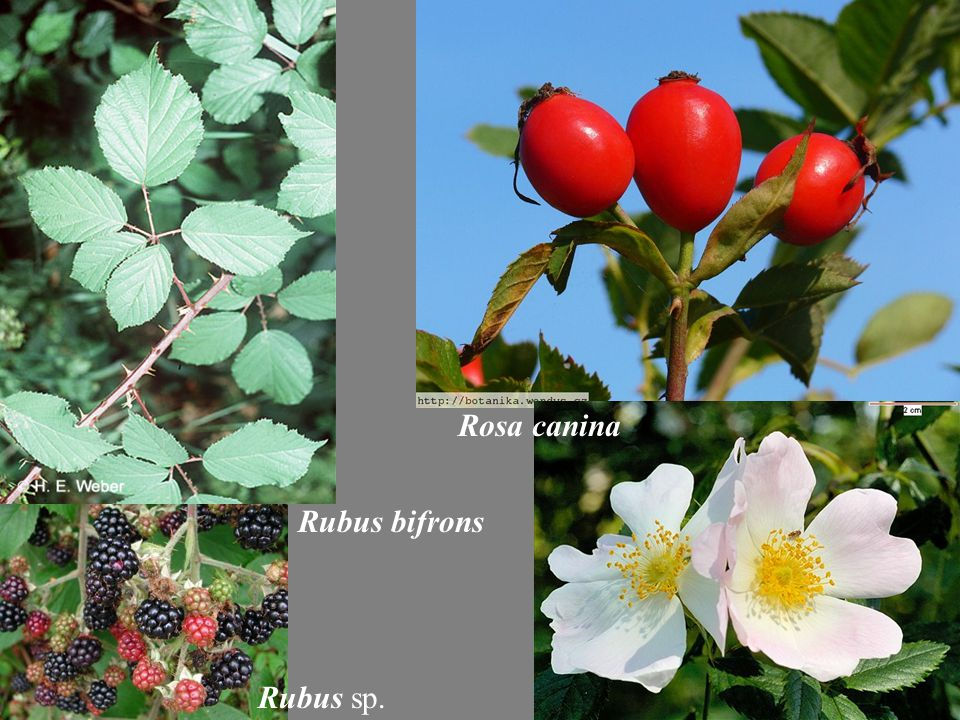 Rosa canina Rubus sp. Rubus bifrons