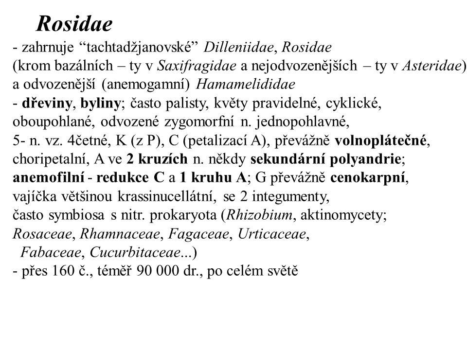 Rosidae - zahrnuje tachtadžjanovské Dilleniidae, Rosidae (krom bazálních – ty v Saxifragidae a nejodvozenějších – ty v Asteridae) a odvozenější (anemogamní) Hamamelididae - dřeviny, byliny; často palisty, květy pravidelné, cyklické, oboupohlané, odvozené zygomorfní n.