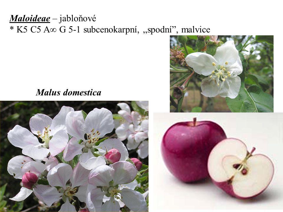"""Maloideae – jabloňové * K5 C5 A  G 5-1 subcenokarpní, """"spodní , malvice Malus domestica"""