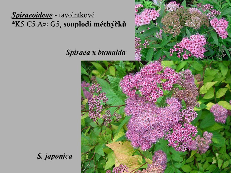 Spiraeoideae - tavolníkové *K5 C5 A  G5, souplodí měchýřků Spiraea x billardii Spiraea x bumalda S.