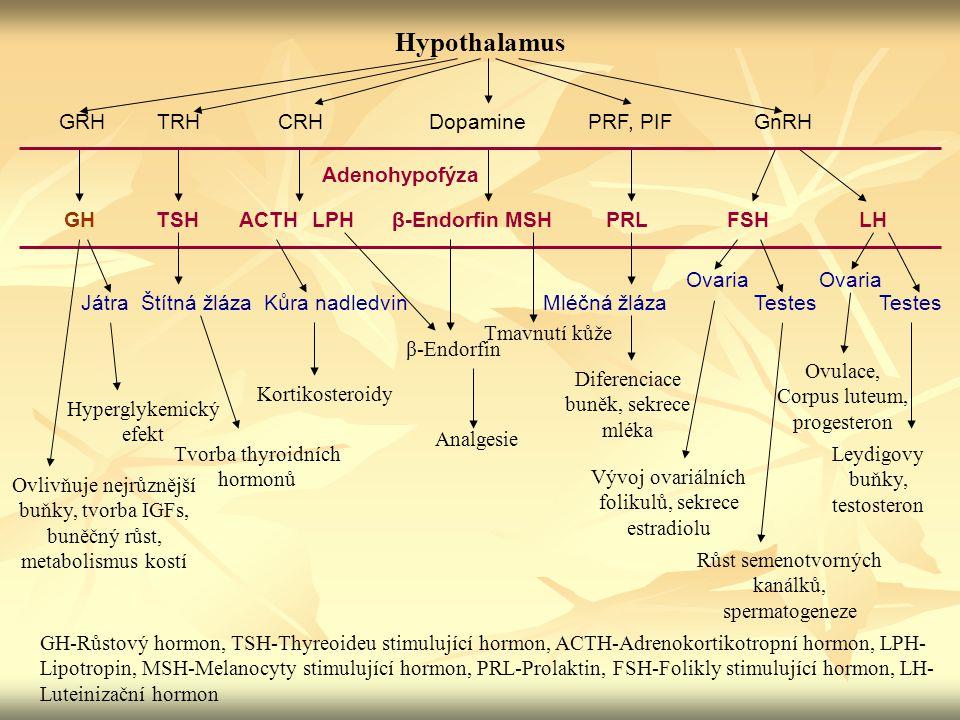 Hypothalamus GRHTRHCRHDopaminePRF, PIFGnRH GHTSHACTHLPHβ-EndorfinPRLFSHLHMSH Adenohypofýza Ovlivňuje nejrůznější buňky, tvorba IGFs, buněčný růst, met