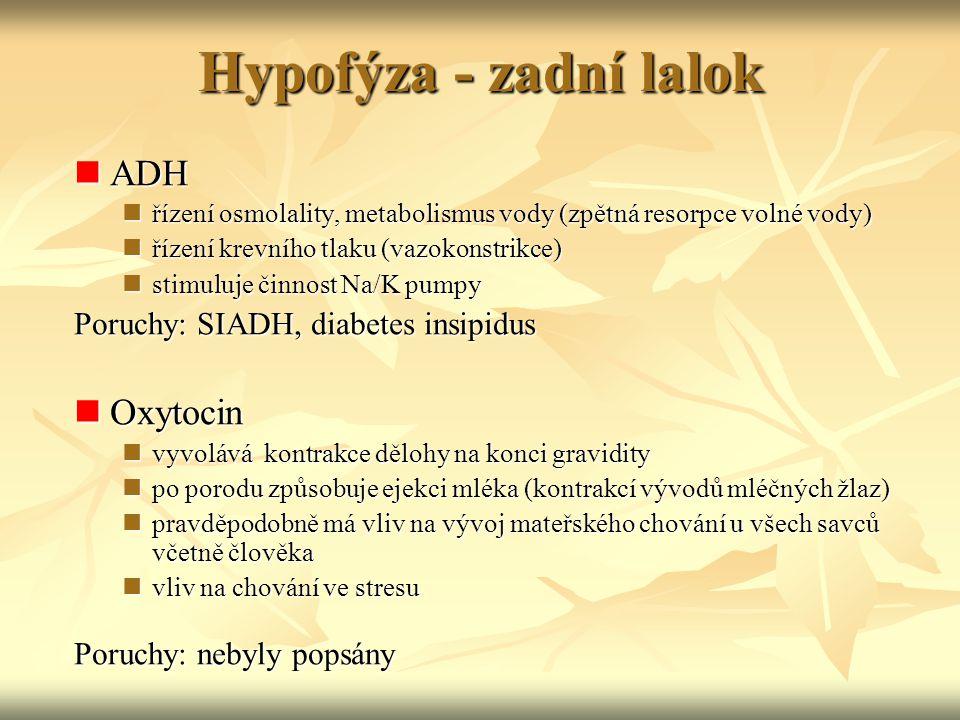 Hypofýza - zadní lalok ADH ADH řízení osmolality, metabolismus vody (zpětná resorpce volné vody) řízení osmolality, metabolismus vody (zpětná resorpce