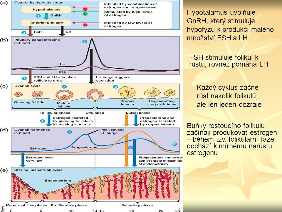 Každý cyklus začne růst několik folikulů, ale jen jeden dozraje Hypotalamus uvolňuje GnRH, který stimuluje hypofýzu k produkci malého množství FSH a L