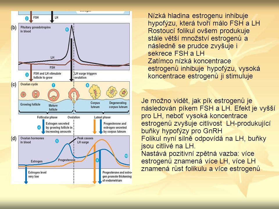 Nízká hladina estrogenu inhibuje hypofýzu, která tvoří málo FSH a LH Rostoucí folikul ovšem produkuje stále větší množství estrogenů a následně se pru