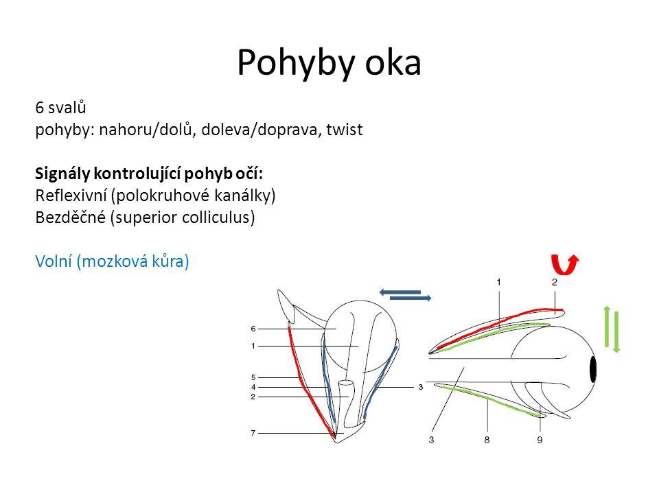 Pohyby oka 6 svalů pohyby: nahoru/dolů, doleva/doprava, twist Signály kontrolující pohyb očí: Reflexivní (polokruhové kanálky) Bezděčné (superior colliculus) Volní (mozková kůra)