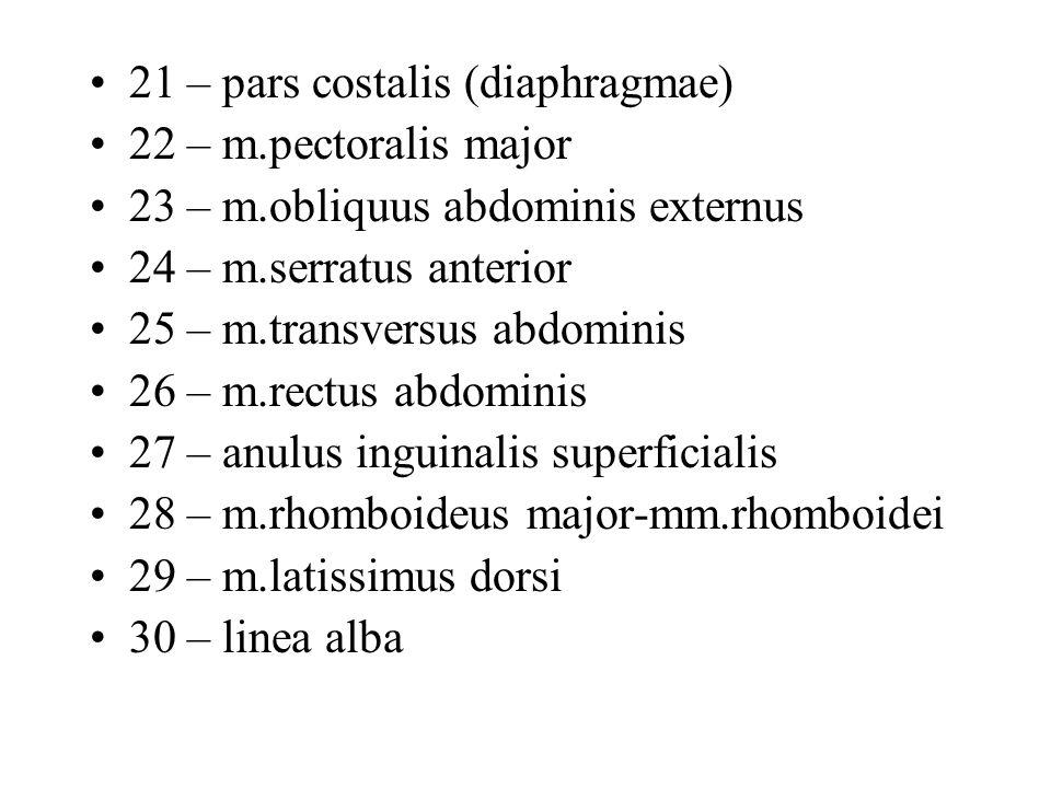 21 – pars costalis (diaphragmae) 22 – m.pectoralis major 23 – m.obliquus abdominis externus 24 – m.serratus anterior 25 – m.transversus abdominis 26 –