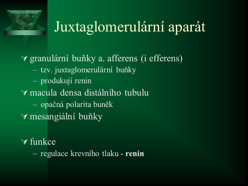 Juxtaglomerulární aparát  granulární buňky a.afferens (i efferens) –tzv.