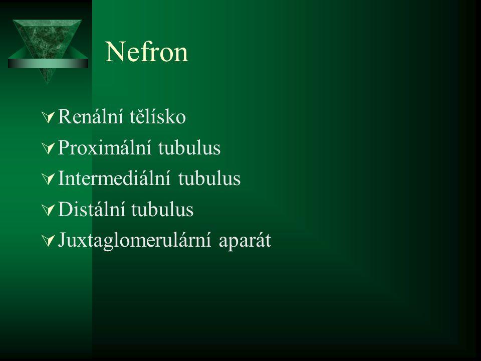 Nefron  Renální tělísko  Proximální tubulus  Intermediální tubulus  Distální tubulus  Juxtaglomerulární aparát
