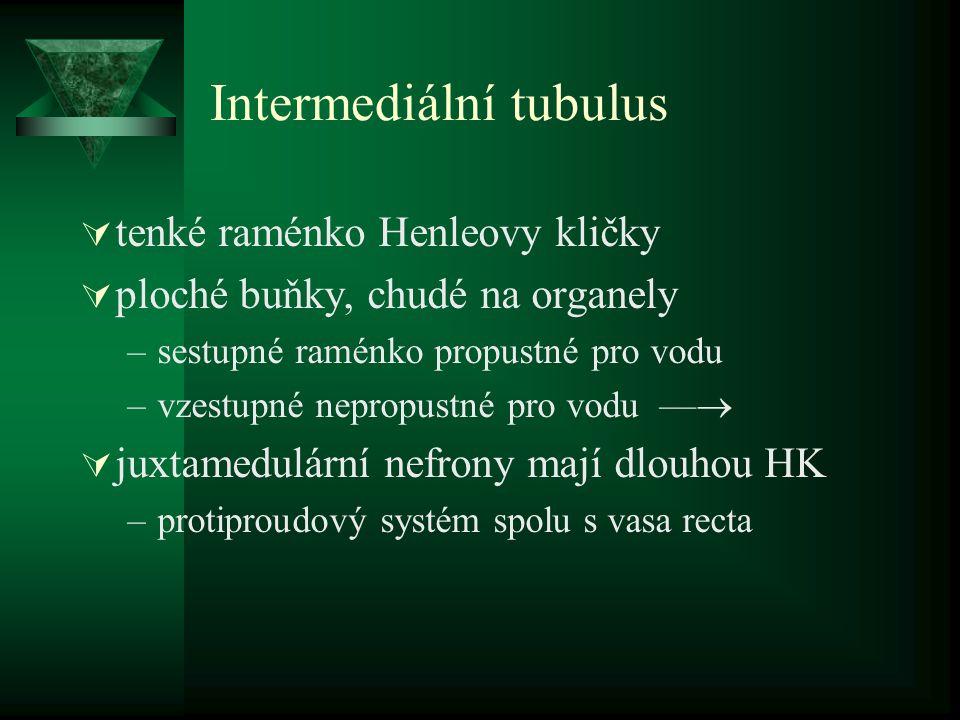 Intermediální tubulus  tenké raménko Henleovy kličky  ploché buňky, chudé na organely –sestupné raménko propustné pro vodu –vzestupné nepropustné pro vodu —   juxtamedulární nefrony mají dlouhou HK –protiproudový systém spolu s vasa recta