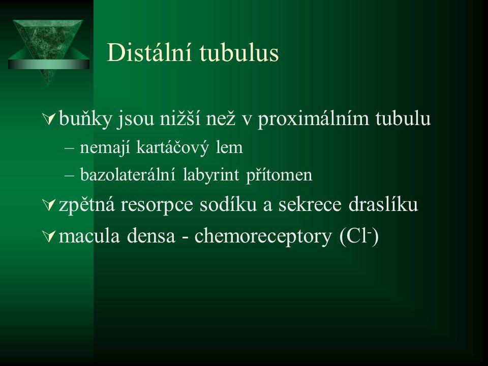 Distální tubulus  buňky jsou nižší než v proximálním tubulu –nemají kartáčový lem –bazolaterální labyrint přítomen  zpětná resorpce sodíku a sekrece draslíku  macula densa - chemoreceptory (Cl - )