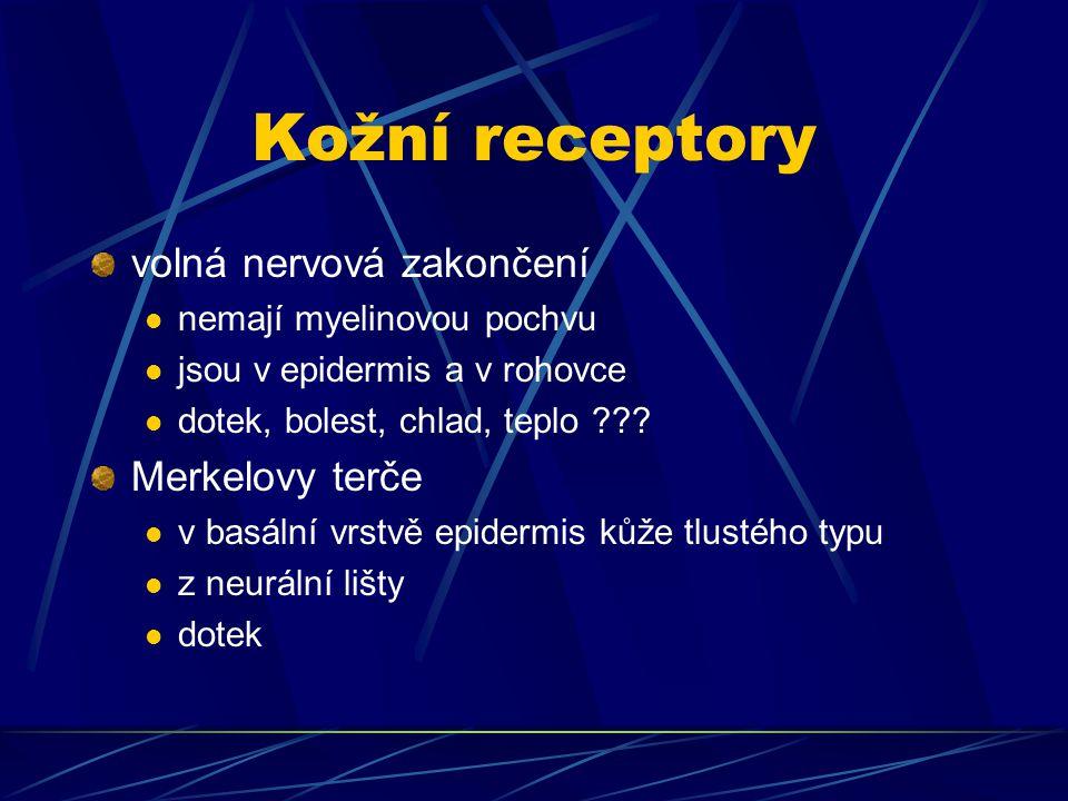 Kožní receptory volná nervová zakončení nemají myelinovou pochvu jsou v epidermis a v rohovce dotek, bolest, chlad, teplo ??? Merkelovy terče v basáln