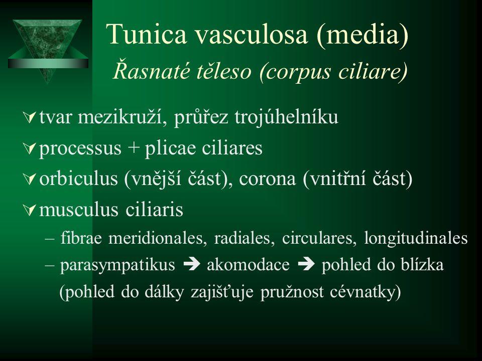Tunica vasculosa (media) Řasnaté těleso (corpus ciliare)  tvar mezikruží, průřez trojúhelníku  processus + plicae ciliares  orbiculus (vnější část)