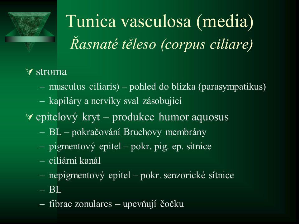Tunica vasculosa (media) Řasnaté těleso (corpus ciliare)  stroma –musculus ciliaris) – pohled do blízka (parasympatikus) –kapiláry a nervíky sval zás