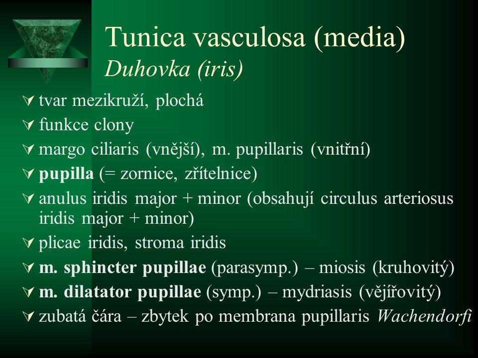 Tunica vasculosa (media) Duhovka (iris)  tvar mezikruží, plochá  funkce clony  margo ciliaris (vnější), m. pupillaris (vnitřní)  pupilla (= zornic