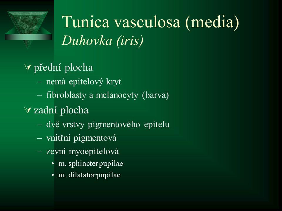 Tunica vasculosa (media) Duhovka (iris)  přední plocha –nemá epitelový kryt –fibroblasty a melanocyty (barva)  zadní plocha –dvě vrstvy pigmentového