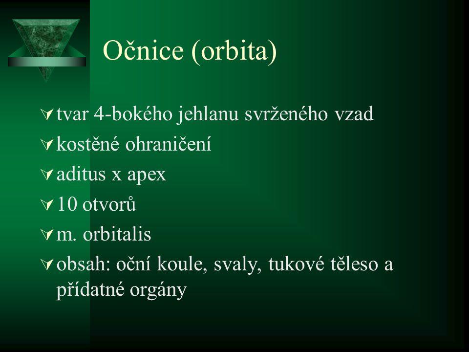 Očnice (orbita)  tvar 4-bokého jehlanu svrženého vzad  kostěné ohraničení  aditus x apex  10 otvorů  m. orbitalis  obsah: oční koule, svaly, tuk