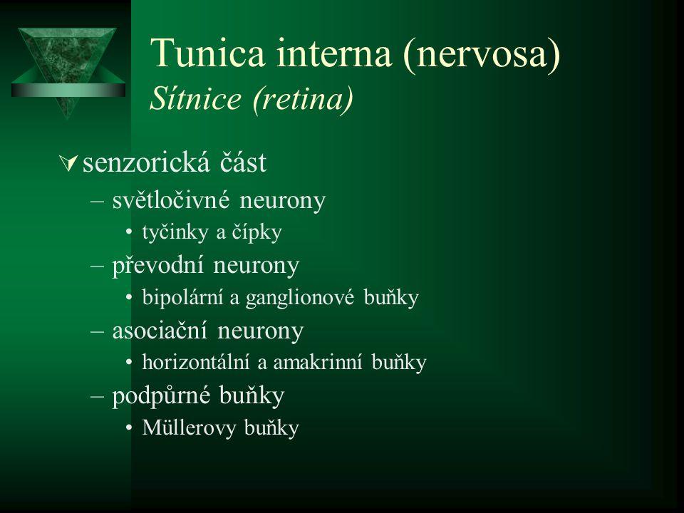 Tunica interna (nervosa) Sítnice (retina)  senzorická část –světločivné neurony tyčinky a čípky –převodní neurony bipolární a ganglionové buňky –asoc