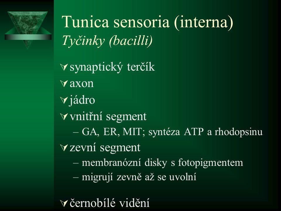 Tunica sensoria (interna) Tyčinky (bacilli)  synaptický terčík  axon  jádro  vnitřní segment –GA, ER, MIT; syntéza ATP a rhodopsinu  zevní segmen
