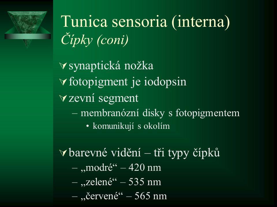 Tunica sensoria (interna) Čípky (coni)  synaptická nožka  fotopigment je iodopsin  zevní segment –membranózní disky s fotopigmentem komunikují s ok