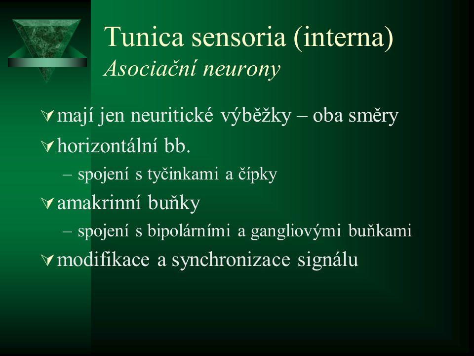 Tunica sensoria (interna) Asociační neurony  mají jen neuritické výběžky – oba směry  horizontální bb. –spojení s tyčinkami a čípky  amakrinní buňk
