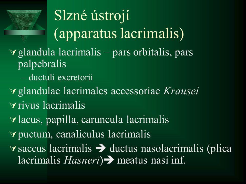 Slzné ústrojí (apparatus lacrimalis)  glandula lacrimalis – pars orbitalis, pars palpebralis –ductuli excretorii  glandulae lacrimales accessoriae K