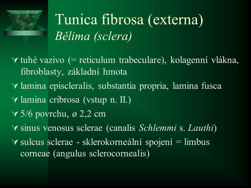 Tunica fibrosa (externa) Rohovka (cornea)  dokonale průhledná, bezcévná  limbus, vertex  5 vrstev –epithelium anterius cornae (vrstevnatý dlaždicový) –lamina limitans anterior (Bowmanova membrana) –substantia propria corneae –lamina limitans posterior (Descementova membrana) –epithelium posterius corneae (endotel)  11 x 12 mm - fyziologický astigmatisums