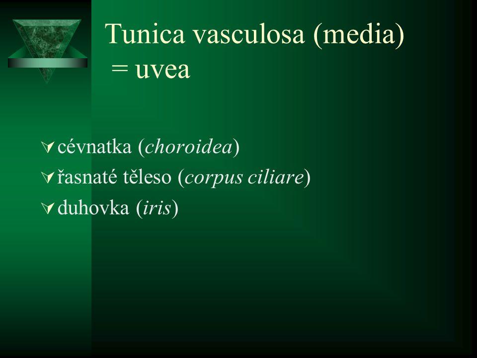 Tunica vasculosa (media) Cévnatka (choroidea)  lamina suprachoroidea (= lamina fusca sclerae)  spatium perichoroideum  lamina vasculosa (choroidální stroma) –velké cévy, vazivo, hladké sv.