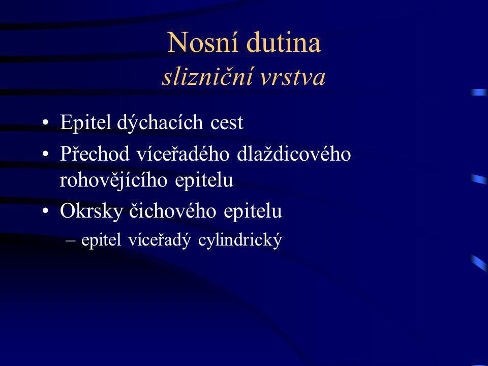Nosní dutina slizniční vrstva Epitel dýchacích cest Přechod víceřadého dlaždicového rohovějícího epitelu Okrsky čichového epitelu –epitel víceřadý cylindrický