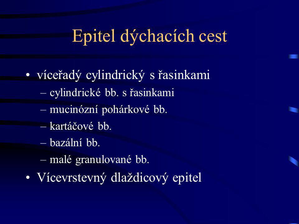 Průdušnice Trachea Pars cervicalis + thoracica Bifurcatio tracheae (Th4) Carina tracheae