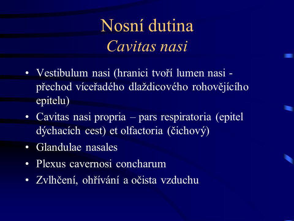 Nosní dutina Cavitas nasi Vestibulum nasi (hranici tvoří lumen nasi - přechod víceřadého dlaždicového rohovějícího epitelu) Cavitas nasi propria – pars respiratoria (epitel dýchacích cest) et olfactoria (čichový) Glandulae nasales Plexus cavernosi concharum Zvlhčení, ohřívání a očista vzduchu
