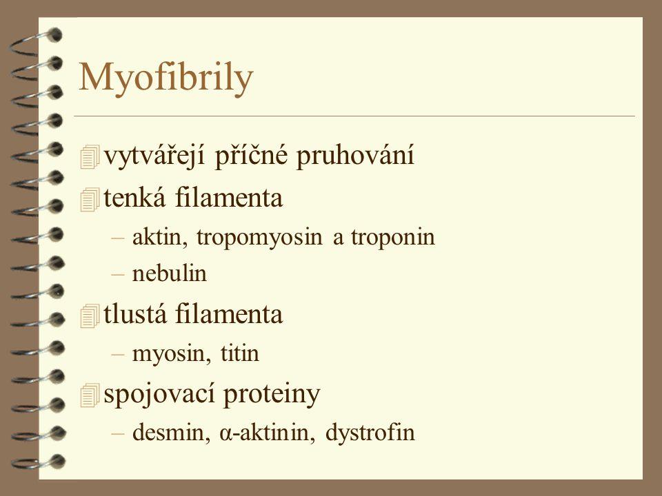 Myofibrily 4 vytvářejí příčné pruhování 4 tenká filamenta –aktin, tropomyosin a troponin –nebulin 4 tlustá filamenta –myosin, titin 4 spojovací proteiny –desmin, α-aktinin, dystrofin
