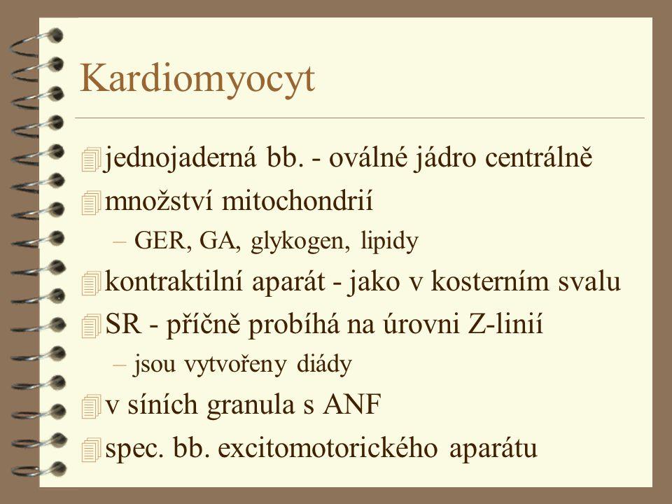 Kardiomyocyt 4 jednojaderná bb.