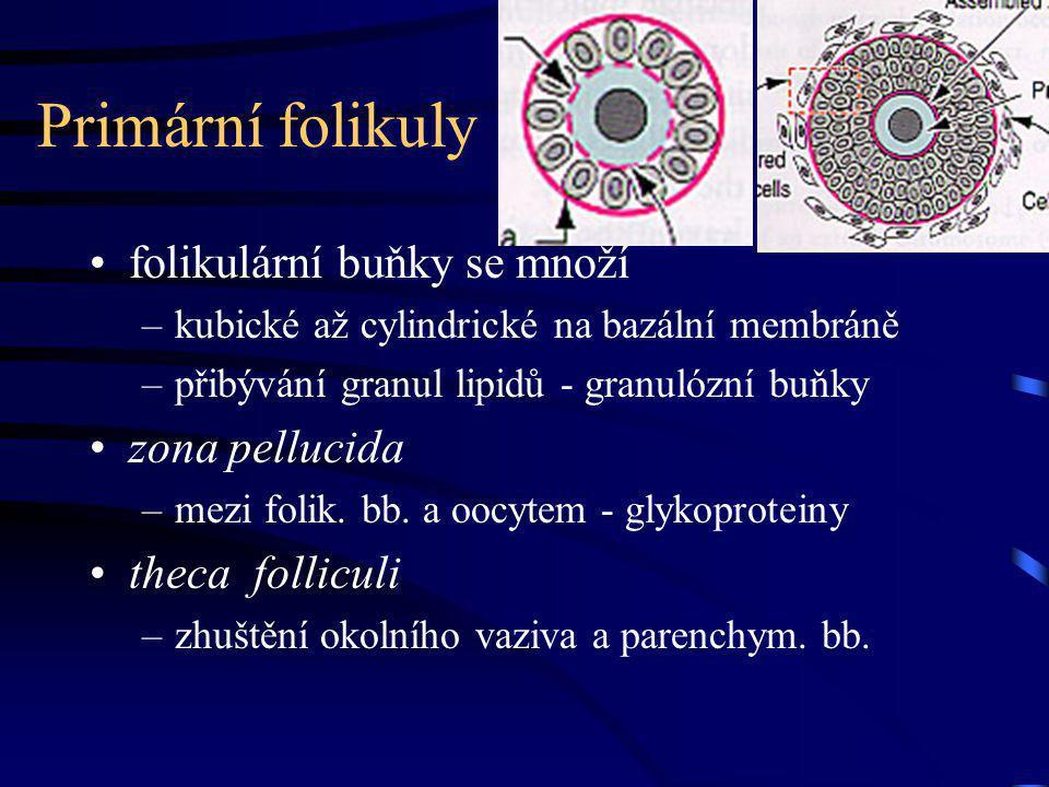 Primární folikuly folikulární buňky se množí –kubické až cylindrické na bazální membráně –přibývání granul lipidů - granulózní buňky zona pellucida –m