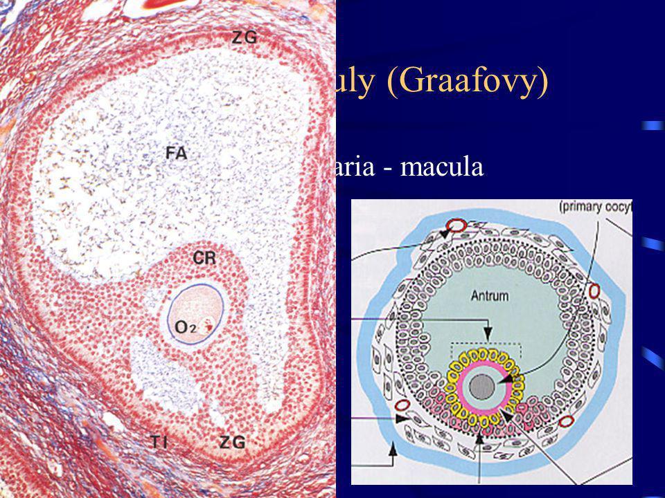 Terciární folikuly (Graafovy) prominuje na povrch ovaria - macula pellucida –ztenčený obal –potlačení kr. zásobení oocyt spolu s corona radiata se uvo