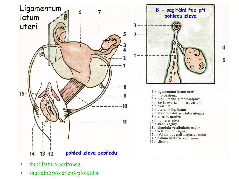 duplikatura peritonea sagitálně postavená ploténka