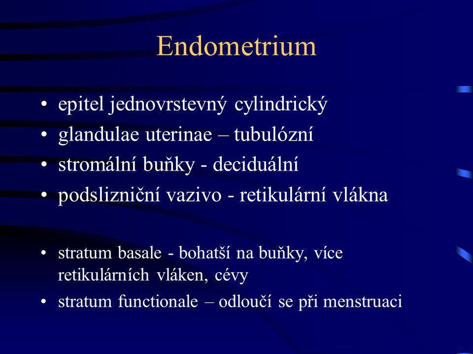 Endometrium epitel jednovrstevný cylindrický glandulae uterinae – tubulózní stromální buňky - deciduální podslizniční vazivo - retikulární vlákna stra