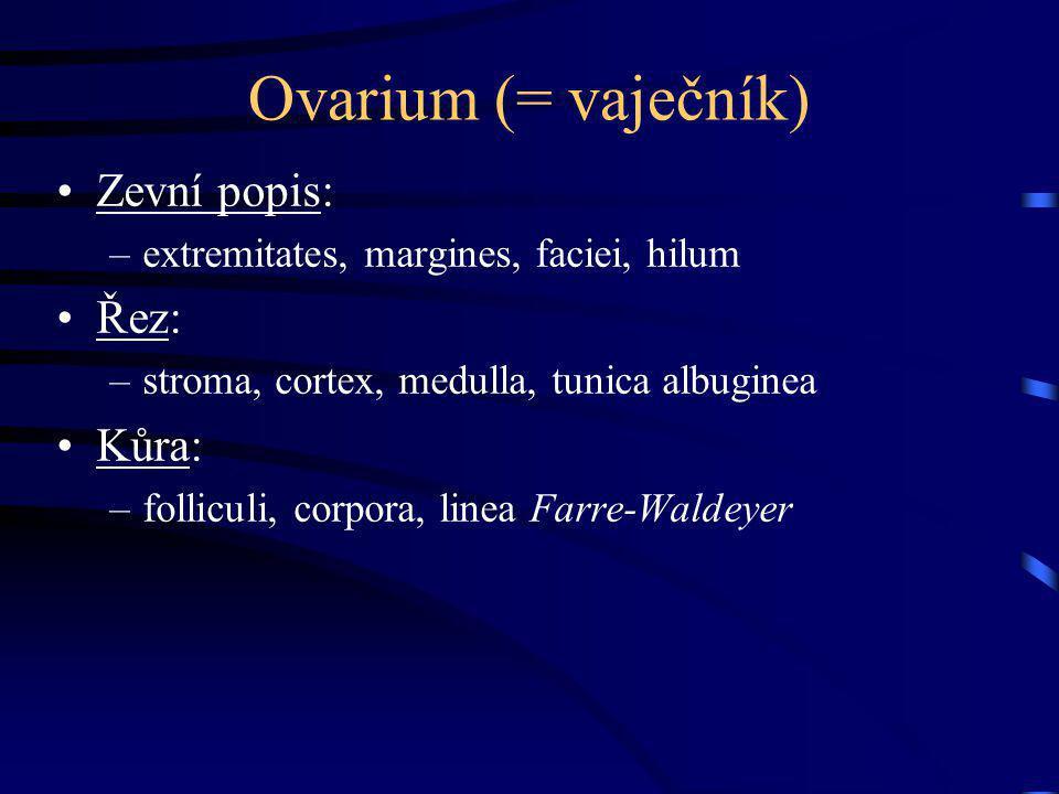 Ovarium (= vaječník) Zevní popis: –extremitates, margines, faciei, hilum Řez: –stroma, cortex, medulla, tunica albuginea Kůra: –folliculi, corpora, li