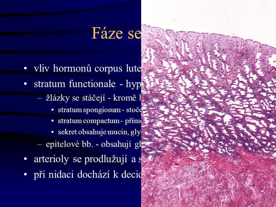 Fáze sekreční vliv hormonů corpus luteum stratum functionale - hypertrofie (  velikost) –žlázky se stáčejí - kromě bazál. a apik. konce stratum spong