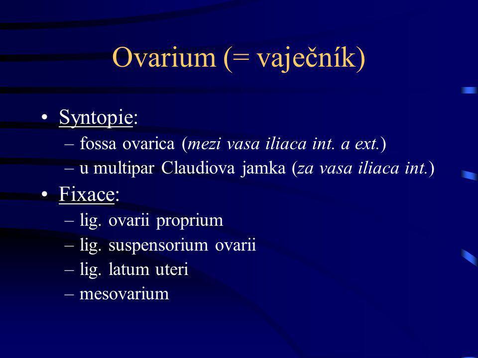 Ovarium (= vaječník) Syntopie: –fossa ovarica (mezi vasa iliaca int. a ext.) –u multipar Claudiova jamka (za vasa iliaca int.) Fixace: –lig. ovarii pr