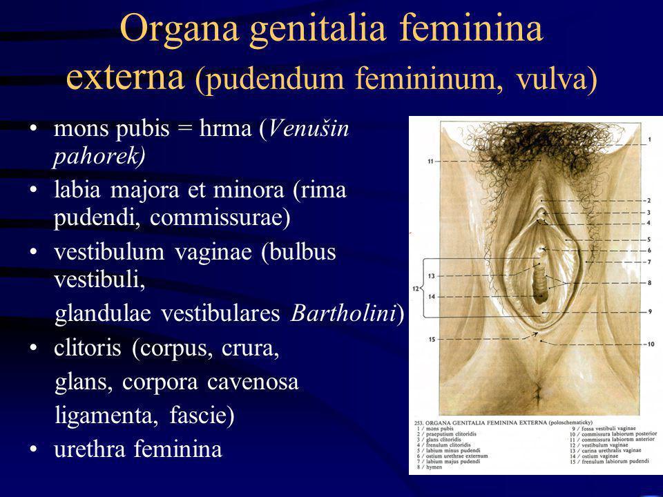 Organa genitalia feminina externa (pudendum femininum, vulva) mons pubis = hrma (Venušin pahorek) labia majora et minora (rima pudendi, commissurae) v