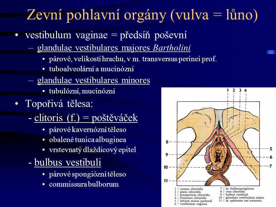 Zevní pohlavní orgány (vulva = lůno) vestibulum vaginae = předsíň poševní –glandulae vestibulares majores Bartholini párové, velikosti hrachu, v m. tr