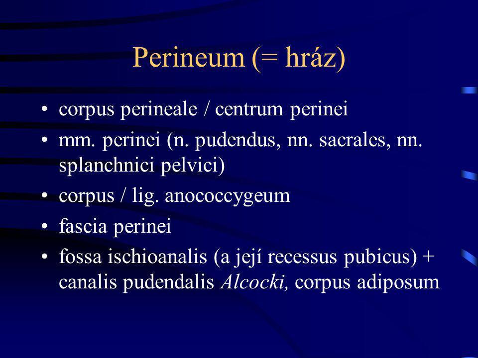 Perineum (= hráz) corpus perineale / centrum perinei mm. perinei (n. pudendus, nn. sacrales, nn. splanchnici pelvici) corpus / lig. anococcygeum fasci
