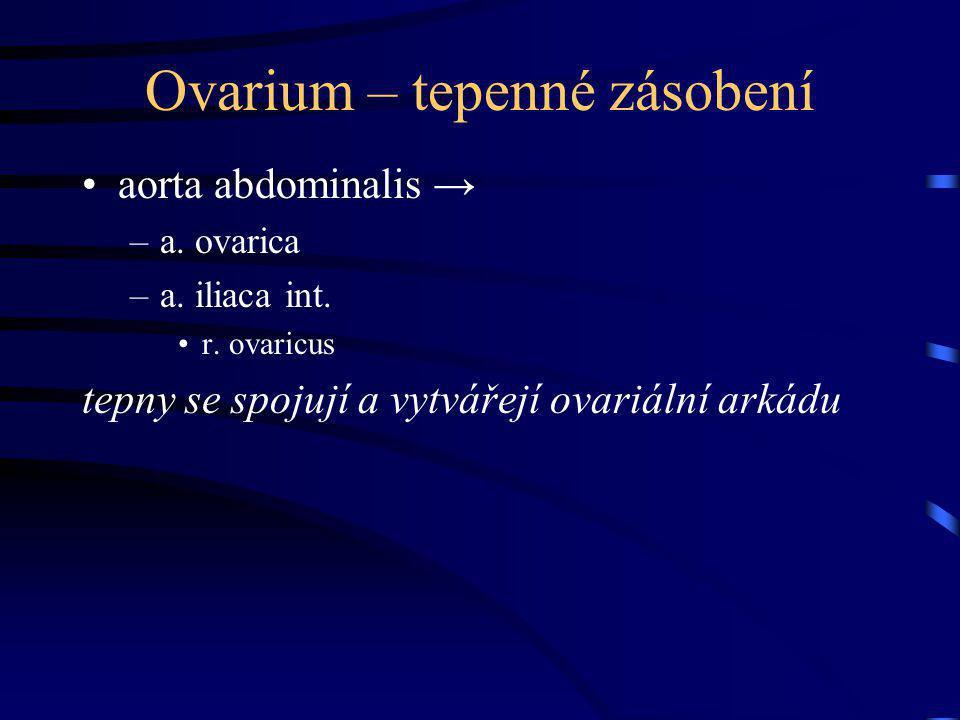 Ovarium – tepenné zásobení aorta abdominalis → –a. ovarica –a. iliaca int. r. ovaricus tepny se spojují a vytvářejí ovariální arkádu