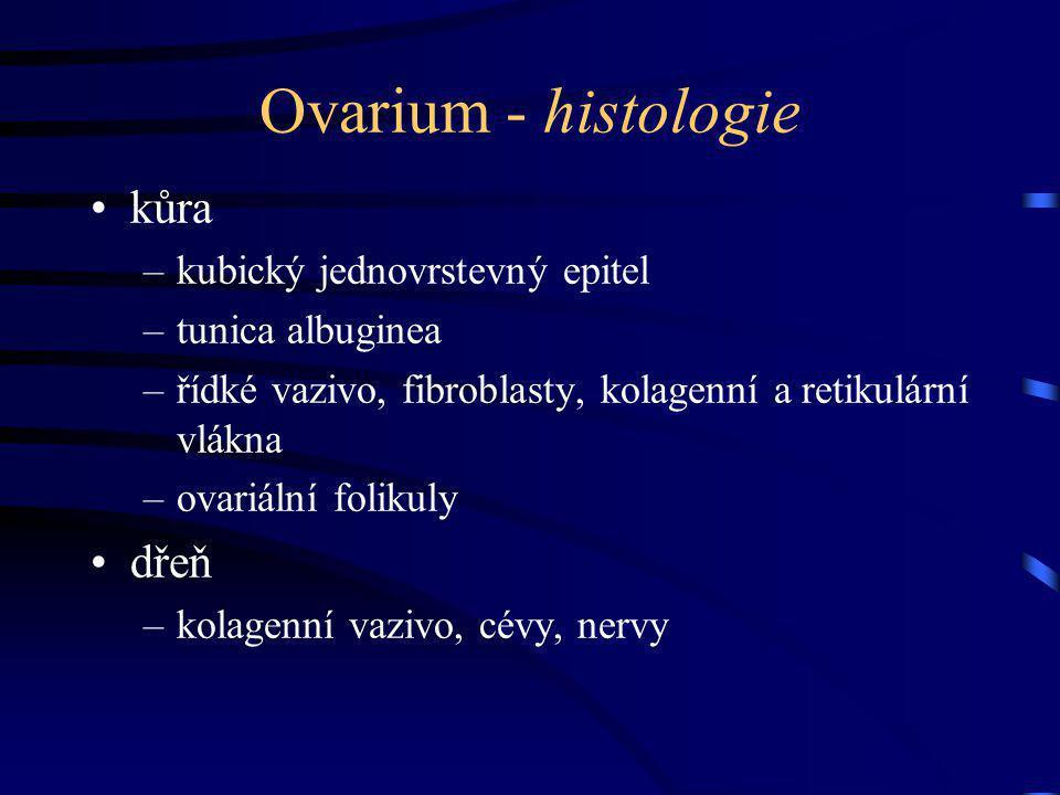 Ovarium - histologie kůra –kubický jednovrstevný epitel –tunica albuginea –řídké vazivo, fibroblasty, kolagenní a retikulární vlákna –ovariální foliku
