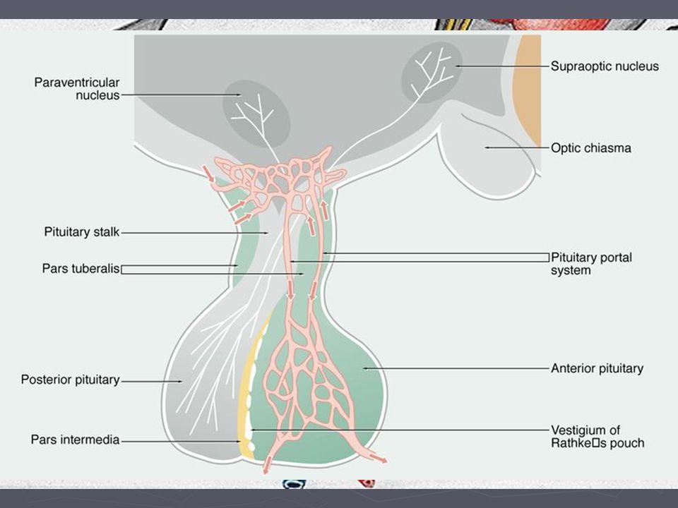 Cévní zásobení hypofýzy ► Hypofyzární portální systém  A. hypophysialis inferior  A. hypophysialis superior ► Vv. hypophysiales do sinus cavernosus
