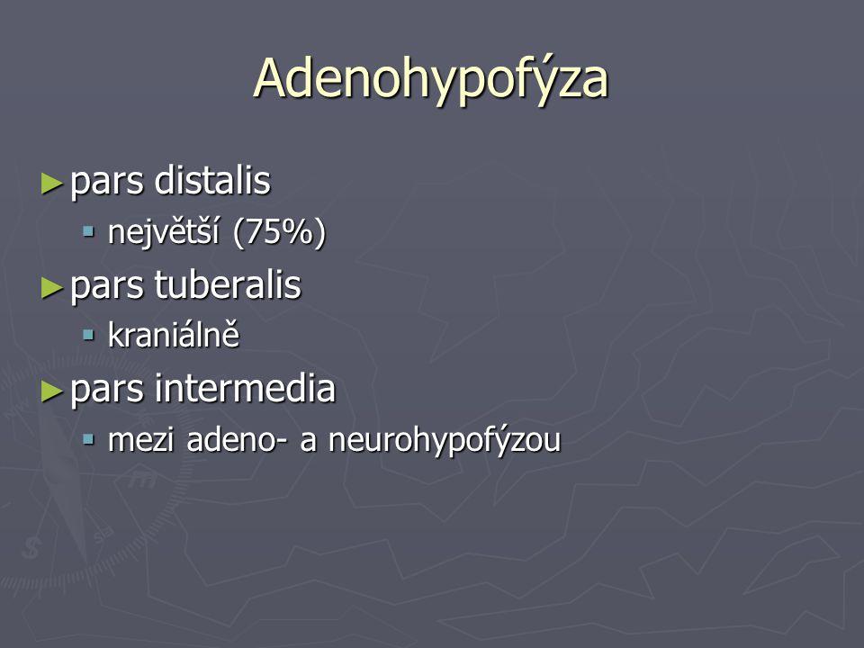 Adenohypofýza ► pars distalis  největší (75%) ► pars tuberalis  kraniálně ► pars intermedia  mezi adeno- a neurohypofýzou