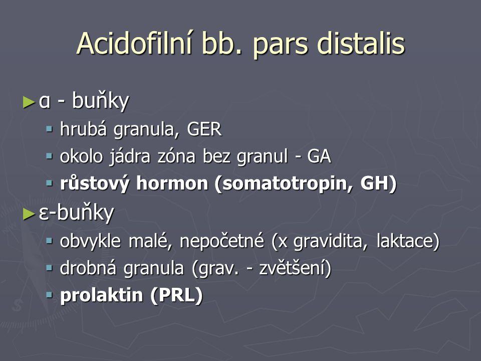 Acidofilní bb. pars distalis ► α - buňky  hrubá granula, GER  okolo jádra zóna bez granul - GA  růstový hormon (somatotropin, GH) ► ε-buňky  obvyk