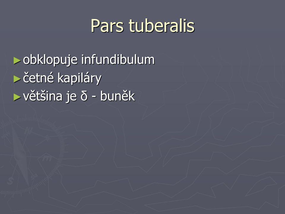 Pars tuberalis ► obklopuje infundibulum ► četné kapiláry ► většina je δ - buněk