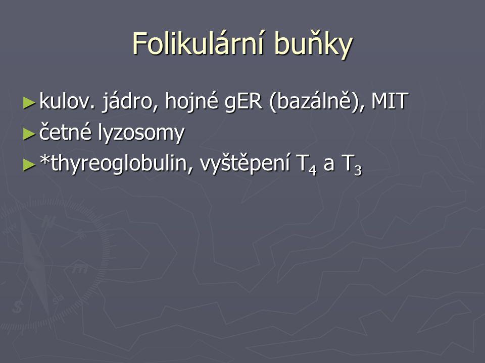 Folikulární buňky ► kulov. jádro, hojné gER (bazálně), MIT ► četné lyzosomy ► *thyreoglobulin, vyštěpení T 4 a T 3