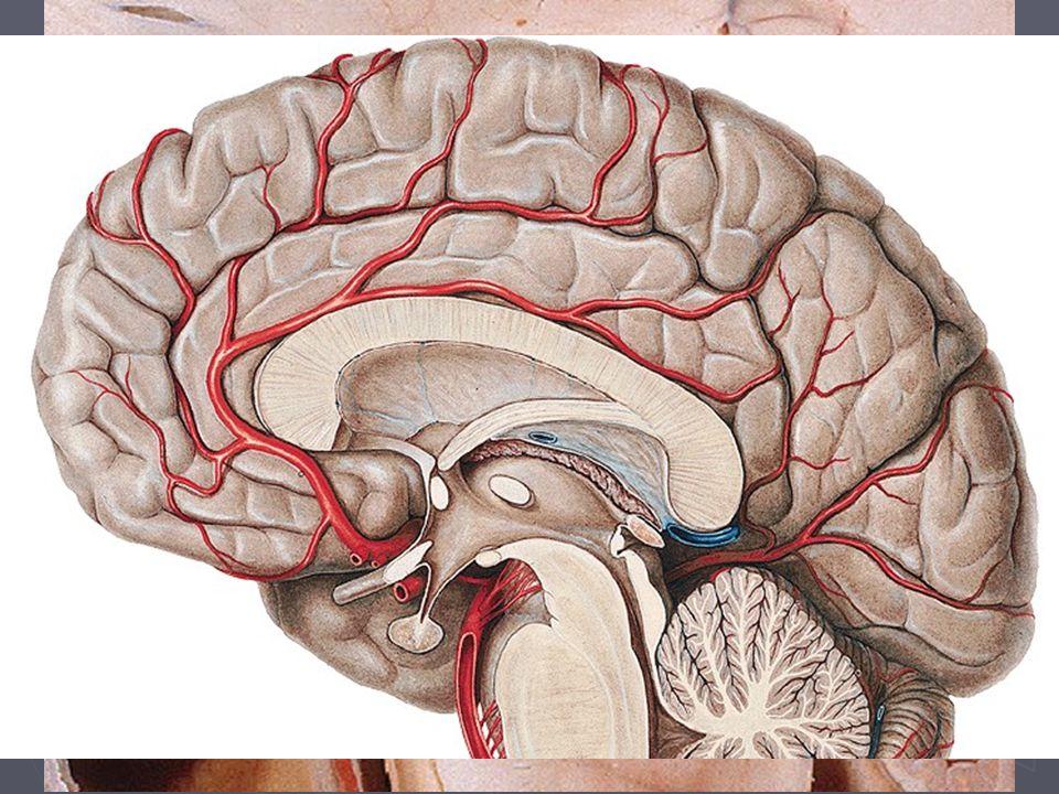 Hypothalamus ► Bazální část mezimozku (Diencephalon), bazálně od III. komory ► Funkce  Sběrné centrum informací z těla i okolí  Nadřazené centrum ve